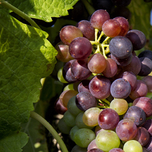 Chanos-curson vines